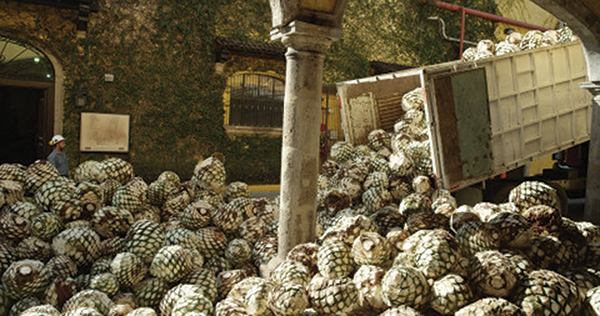 Ford, Jose Cuervo Partner to Make Car Parts from Agave