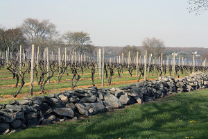 View of the vines.