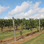 The grape vines at Stonington Vineyards