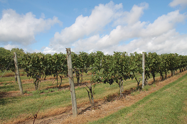 Vineyard View: Patience Pays Off for Stonington Vineyards