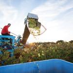 Paul Nunes harvesting at Newport Vineyards.