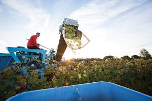 Paul Nunes harvesting at Newport Vineyards. Credit: Marianne Lee Photography.