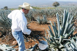 Phillip Soto Mares in the agave fields.