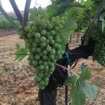 Grapes at the Angelini Estate vineyard.