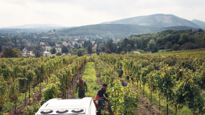 Harvest at Weingut Zahel in Vienna; with about 1,700 acres of vineyards inside its city limits, Vienna is perhaps the world's only major capital city that produces wine.