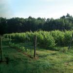 Mulberry Vineyards