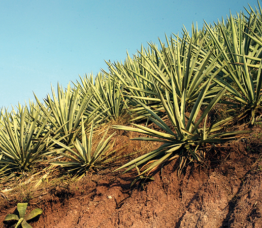 Agave: The Spoils of Success