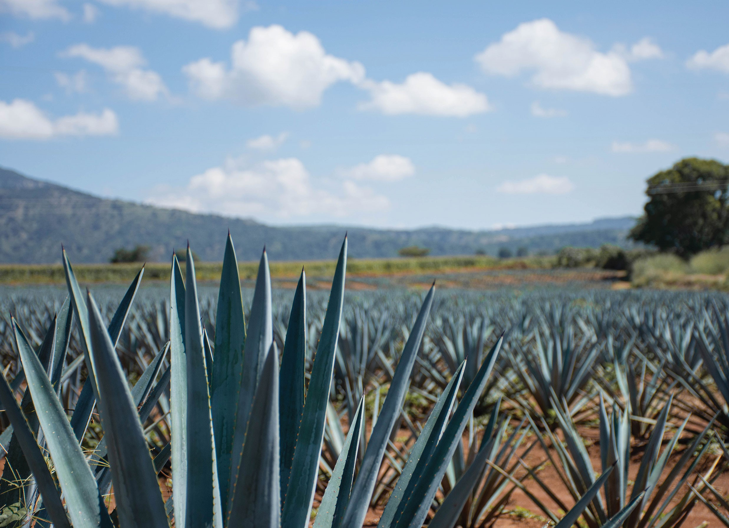 Agave Upheaval: A Struggle for Small Producers